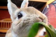 野菜を食べるうさぎ
